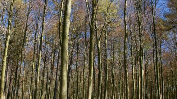 Foto: Geels Skov Anemonetæppe - foto af Jean Schweizer