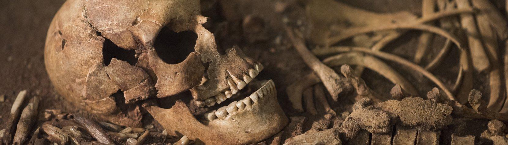 Vedbækfundene - knogler